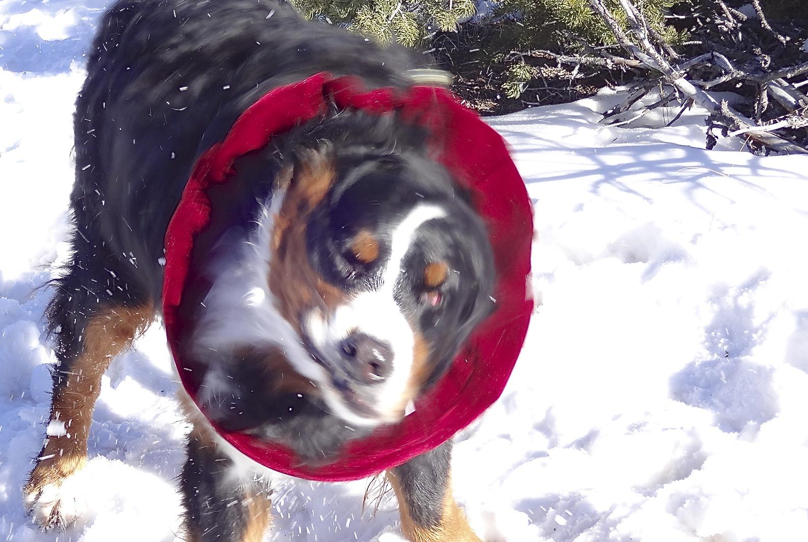 Fantastic Bernese Mountain Dog Chubby Adorable Dog - dsc00413  Pictures_166640  .jpg?w\u003d590\u0026h\u003d396